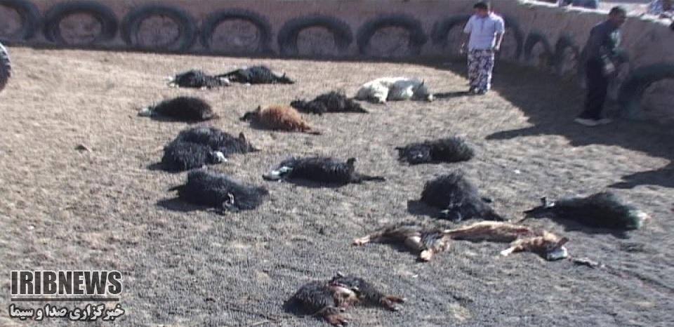حمله بیش از 10 گرگ گرسنه به گوسفندان