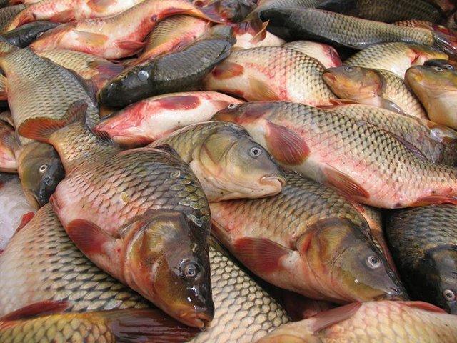 آغاز برداشت ماهی گرمابی در نهبندان