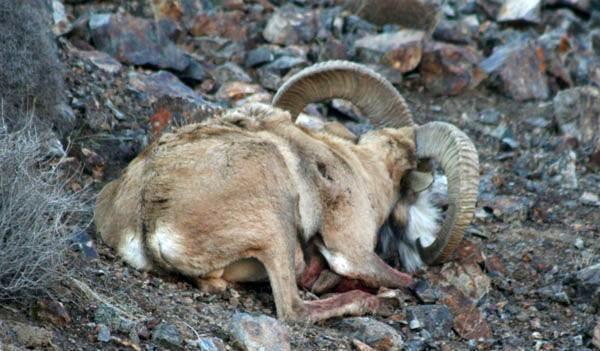 کشف لاشه یک رأس قوچ وحشی در شهرستان بشرویه
