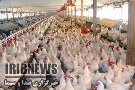 تولید 6 هزار تن مرغ در مرغداریهای خراسان جنوبی
