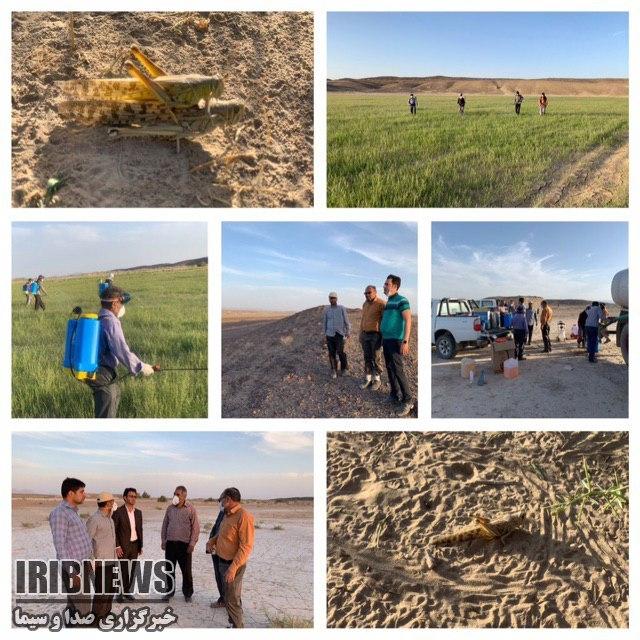 شناسایی کانون تجمع ملخهای صحرایی در نهبندان
