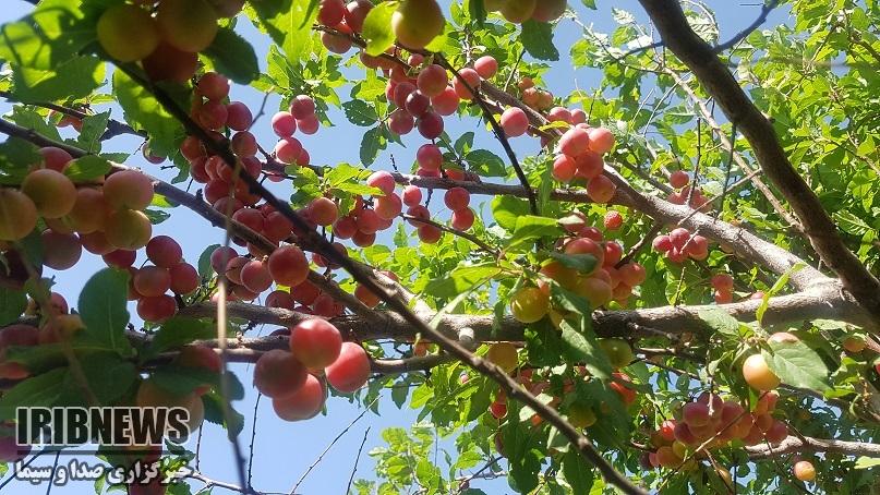 تولید 8 میوه هسته دار در خراسان جنوبی