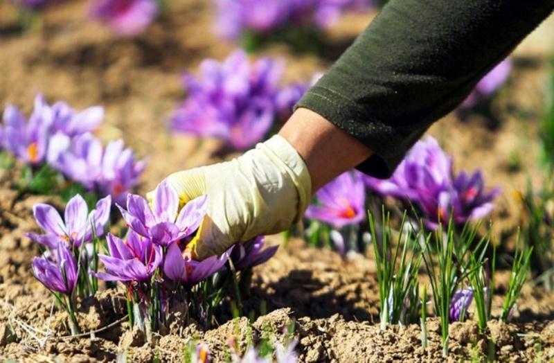 تخصیص 37 میلیارد تومان اعتبار برای زعفران کاران
