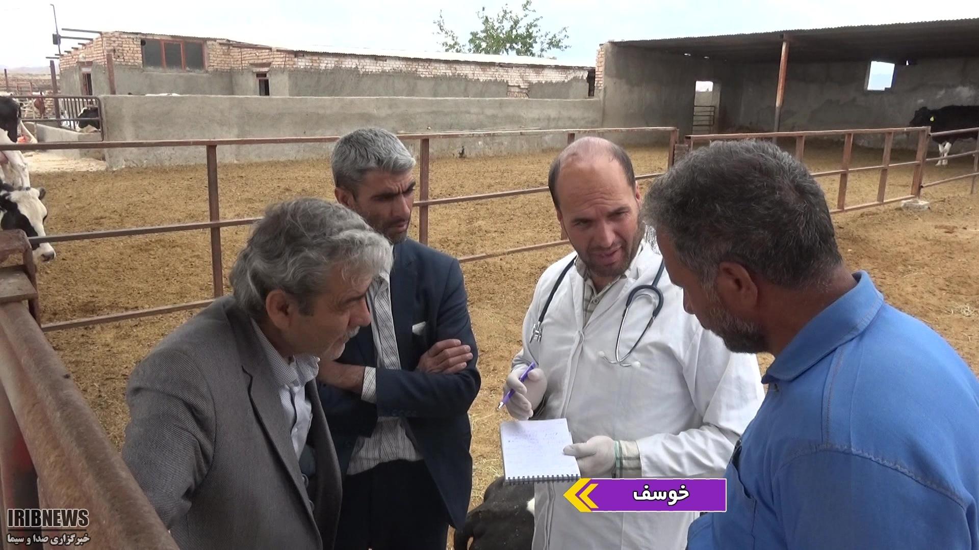 هشدار دامپزشکی برای شیوع بیماری هایپوکلسبی در گاوداری ها