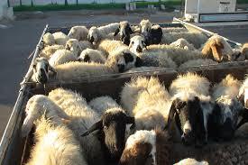 کشف 360 ميليون ريال گوسفند قاچاق در طبس