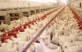 توقیف محموله 2 هزار و 500 قطعه ای مرغ گوشتی در درمیان