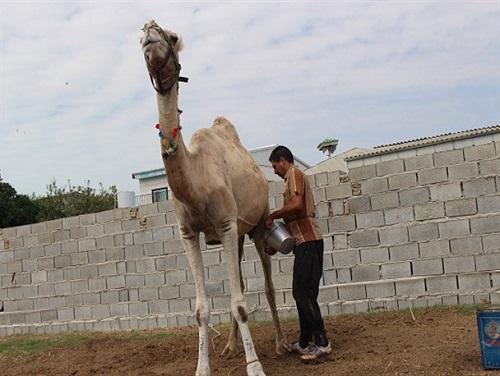 درآمد 18 میلیارد تومانی شیر شتر برای بهره برداران