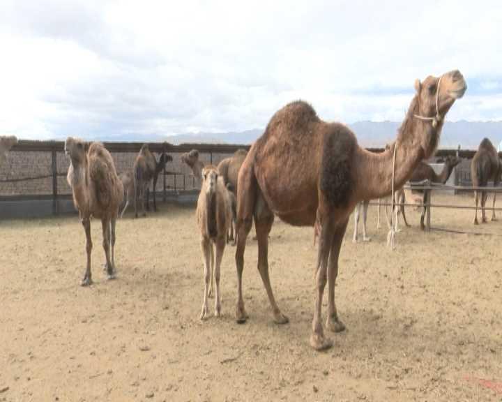 تولید 295 تن گوشت شتر در خراسان جنوبی