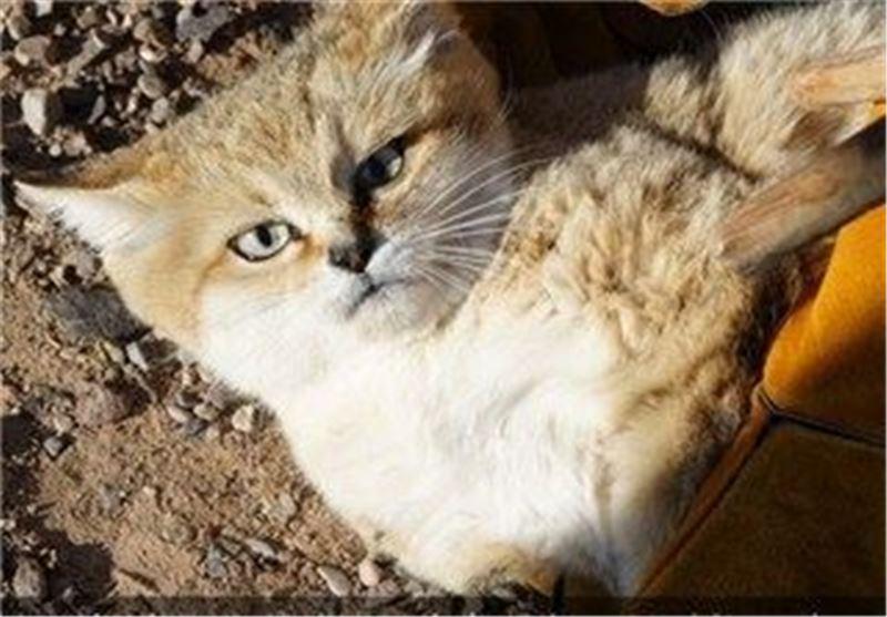 مشاهده گربه شنی در شهرستان نهبندان