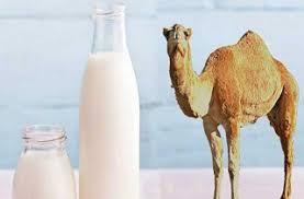 اخذ مجوز ساخت دو کارخانه شیرخشک شتر در نهبندان