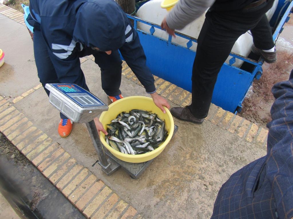 توزیع 50 هزار قطعه بچه ماهی در قاین