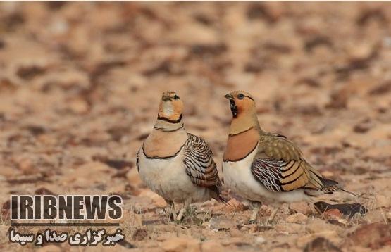 بازداشت شکارچی متخلف در شهرستان خوسف