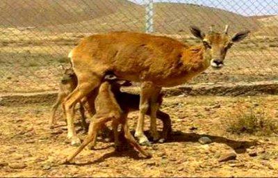 آغاز تولد بره وحشها در منطقه حفاظت شده ی باقران بیرجند