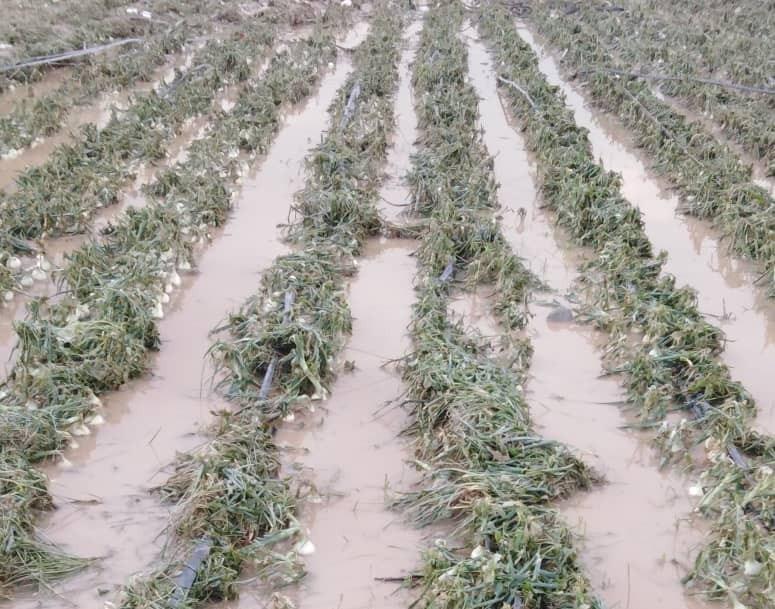خسارت باران و تگرگ به بخش کشاورزی و دامداری