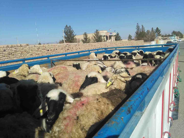 توقیف خودروی حامل ۳۵ رأس گوسفند در شهرستان درمیان