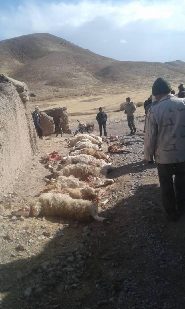 تلف، زخمی و ناپدید شدن ۴۱ رأس گوسفند در حمله گرگها به گله گوسفندان