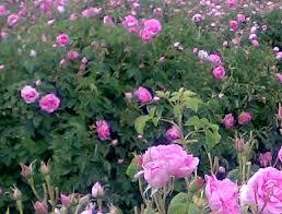 تولید حدود ۱۷۵ تن محصول ارگانیک در خراسان جنوبی