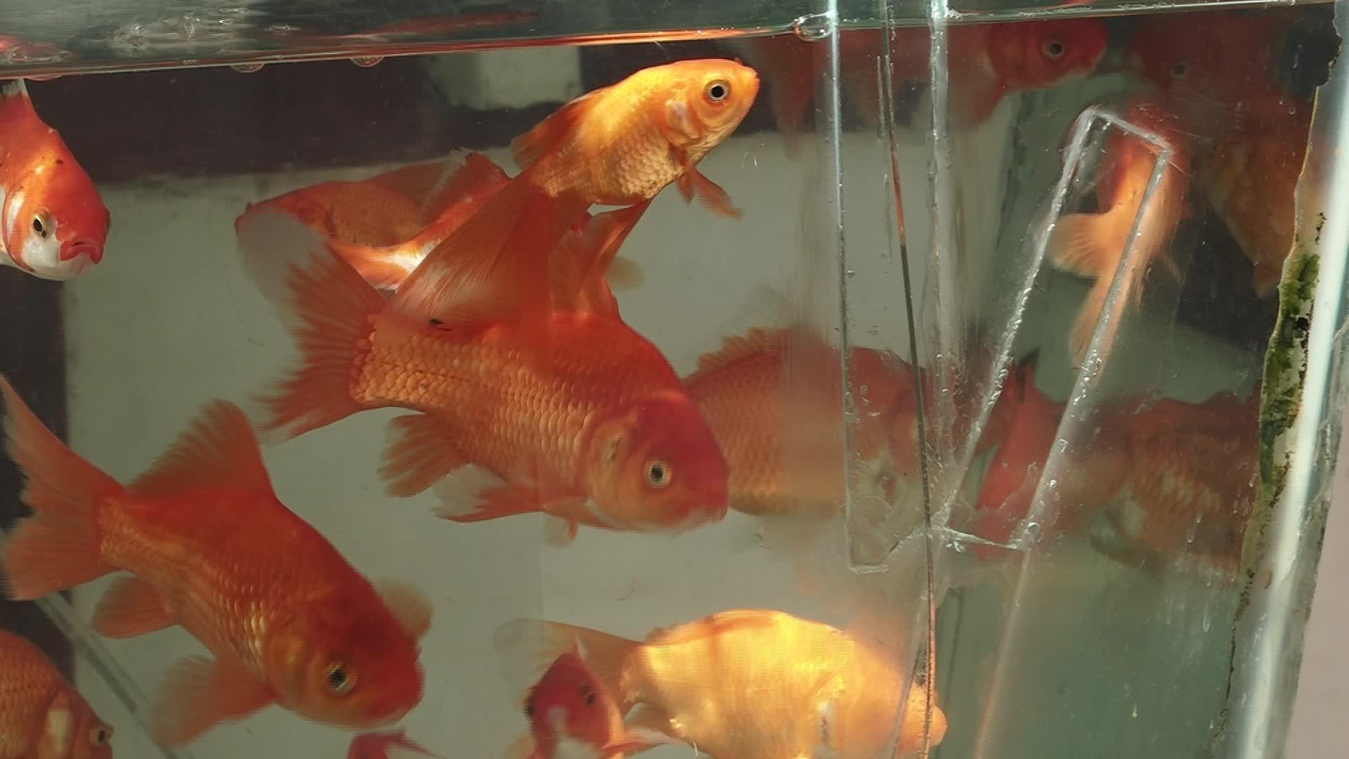 توصیههای نگهداری ماهی قرمز