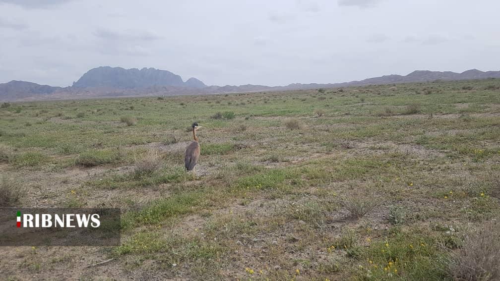 رهاسازی بوتیمار در طبیعت خوسف