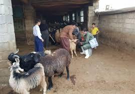 هشدار به دامداران در خصوص شیوع بیماری کزاز علفی در گلههای آزاد چر
