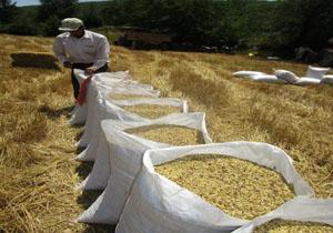 آغاز خرید جو از کشاورزی برای تأمین نهادههای دامی عشایر