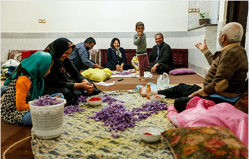 توصیه های کارشناسان برای برداشت زعفران