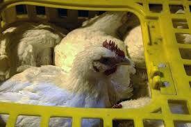 کشف هزار و ۴۴۰ قطعه مرغ فاقد مجوز در شهرستان بیرجند